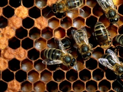 Honey-Bees-450x337
