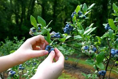 Foraging-Berries-400x266