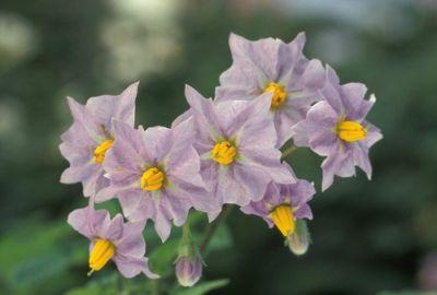 potato-flowers