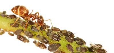 Ant shepherding aphids